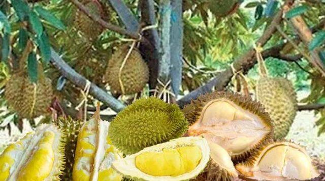 Ini cara merawat bonsai buah durian