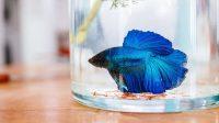 cara memelihara ikan cupang pakai air galon
