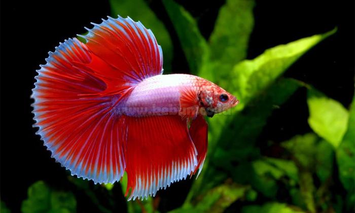 cara mengetahui umur ikan cupang dari ukurannya