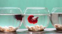 cara merawat ikan cupang, ini caranya