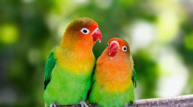 ini teknik memandikan burung lovebird yang benar