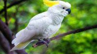 ini teknik dan cara merawat burung kakatua, agar sehat dan cantik