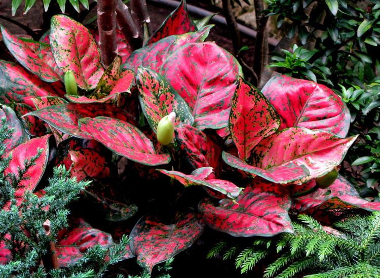 cara merawat daun aglonema, agar tetap sehat dan cantik